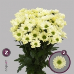 Chrysanthemum Krüsanteem Chic Cream