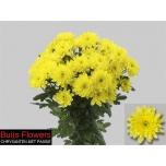 Chrysanthemum Krüsanteem Euro Sunny