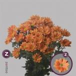 Chrysanthemum Krüsanteem Grand Orange