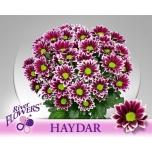 Chrysanthemum Krüsanteem Haydar
