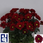 Chrysanthemum Krüsanteem Haiku