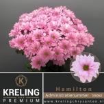 Chrysanthemum Krüsanteem Hamilton