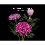 Chrysanthemum Krüsanteem Hornbill Dark