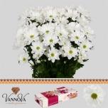 Chrysanthemum Krüsanteem Ilonka