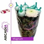 Chrysanthemum Krüsanteem Magnum