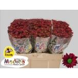 Chrysanthemum Krüsanteem Santini Madiba Dunga Red