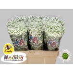 Chrysanthemum Krüsanteem Santini Madiba White
