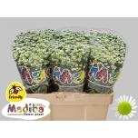 Chrysanthemum Krüsanteem Santini Madiba White Kerio Spider