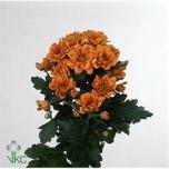 Chrysanthemum Krüsanteem Managua Orange