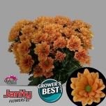 Chrysanthemum Krüsanteem Midnightsun
