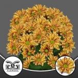 Chrysanthemum Krüsanteem Palette