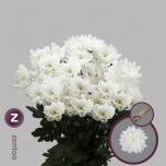 Chrysanthemum Krüsanteem Pina Colada