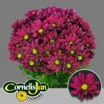 Chrysanthemum Krüsanteem Purple Star