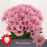 Chrysanthemum Krüsanteem Rihanna
