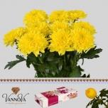 Chrysanthemum Krüsanteem Ritual