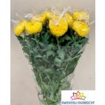 Chrysanthemum Krüsanteem Rivalry