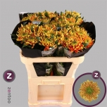 Chrysanthemum Krüsanteem Rossano Elizabeth