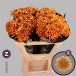 Chrysanthemum Krüsanteem Rossano Orange