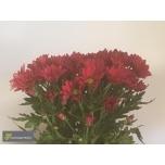 Chrysanthemum Krüsanteem Ruby Star