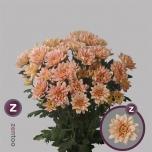 Chrysanthemum Krüsanteem Baltica Salmon