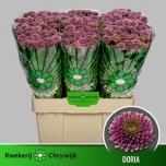 Chrysanthemum Krüsanteem Santini Doria