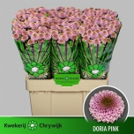 Chrysanthemum Krüsanteem Santini Doria Pink