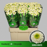 Chrysanthemum Krüsanteem Santini Doria White