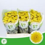 Chrysanthemum Krüsanteem Santini Ellison Sunny