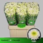 Chrysanthemum Krüsanteem Santini Ferry