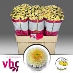Chrysanthemum Krüsanteem Santini Gogo