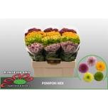 Chrysanthemum Krüsanteem Santini mix