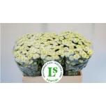 Chrysanthemum Krüsanteem Santini Ellison White