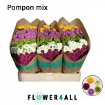 Chrysanthemum Krüsanteem Santini Pomponi mix