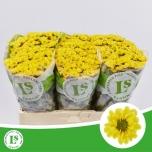 Chrysanthemum Krüsanteem Santini Rossi Sunny