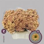 Chrysanthemum Krüsanteem Santini Rossi Smokey