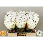 Chrysanthemum Krüsanteem Santini valge lihtõis