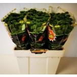 Chrysanthemum Krüsanteem Santini Whatsapp