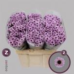 Chrysanthemum Krüsanteem Santini Yin Yang Pink