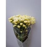 Chrysanthemum Krüsanteem Snowdon