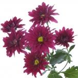 Chrysanthemum Krüsanteem Stellini Velvet