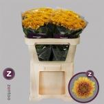 Chrysanthemum Krüsanteem Willem Orange