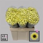 Chrysanthemum Krüsanteem Santini Yin Yang Cream