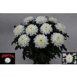 Chrysanthemum Krüsanteem Zembla
