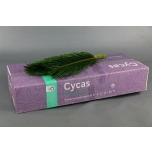 Cycas leht 70cm