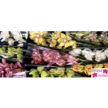 Cymbidium Orhideeline 60cm mix
