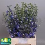 Delphinium 75cm Kukekannus Aurora Blue