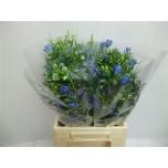Delphinium 40cm Kukekannus Energy Blue