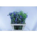 Delphinium 60cm Kukekannus Energy Blue