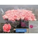 Dianthus Carnation Nelk Antea