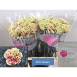 Dianthus Carnation Nelk Belle Epoque